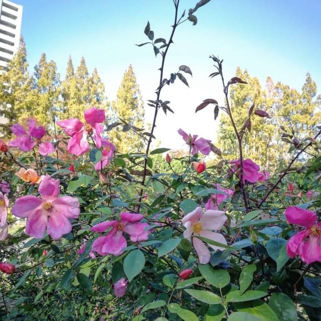 ロサ キネンシス ムタビリス Rosa chinensis mutabilis ■新苗■※お届けは5月上旬以降