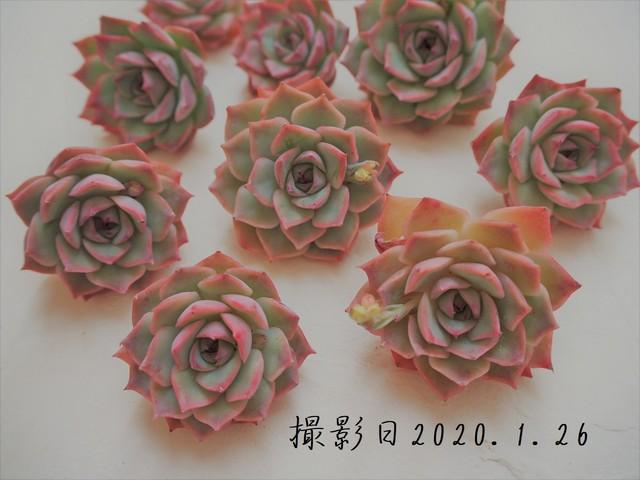 ピンクチップス(エケベリア属)韓国苗 多肉植物