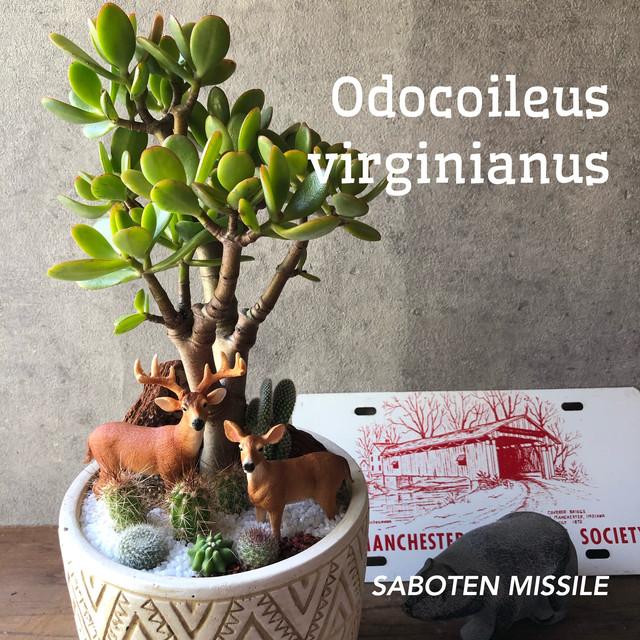 Odocoileus virginianus オジロジカ