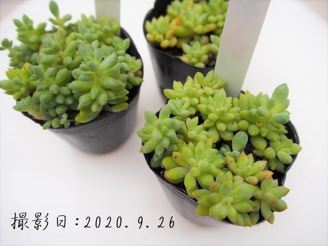 多肉植物 乙女心 オトメゴコロ(セダム属)いとうぐりーん 産直苗 2号