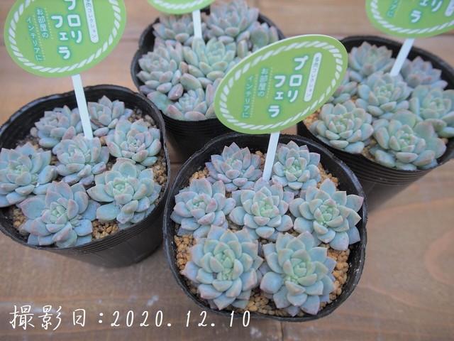 多肉コレクション プロリフェラ(セダム属)2.5号 多肉植物