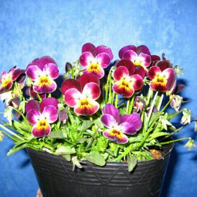 このはなロマン(R)の遊蝶花9cmポット・おまかせ10鉢