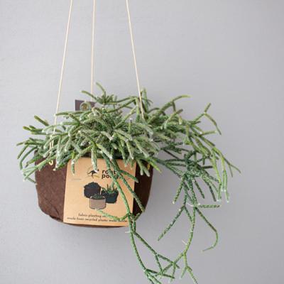 [吊るす植物]リプサリス・ピロカーパ・レフグレン