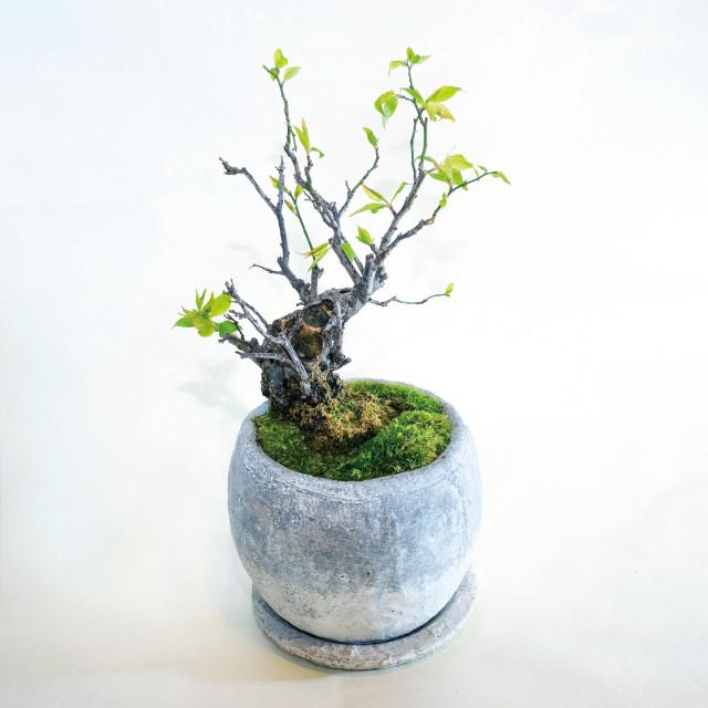 モダン盆栽 梅