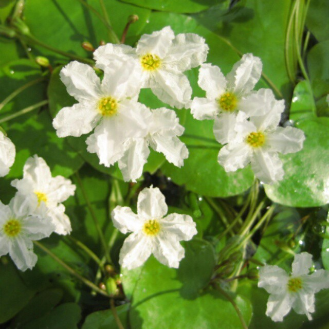 水草 姫千鳥 ちぎり葉
