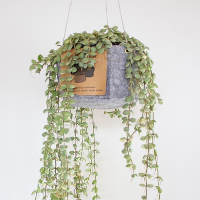 [吊るす植物]ディスキディア・ヌンムラリア・バリエガタ