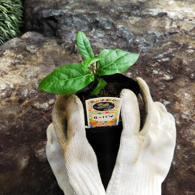 この春、ご入学のお子さんと蝋梅を苗から育ててみませんか。