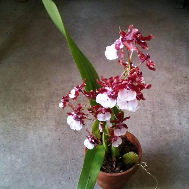 開花が待ち遠しいオンシジューム!チョコレート色のの花の香りはやっぱり…?