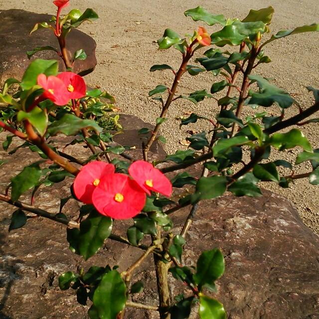 美しいものにはトゲが…ない!?赤い小花がたくさん咲く、「トゲなし花キリン」