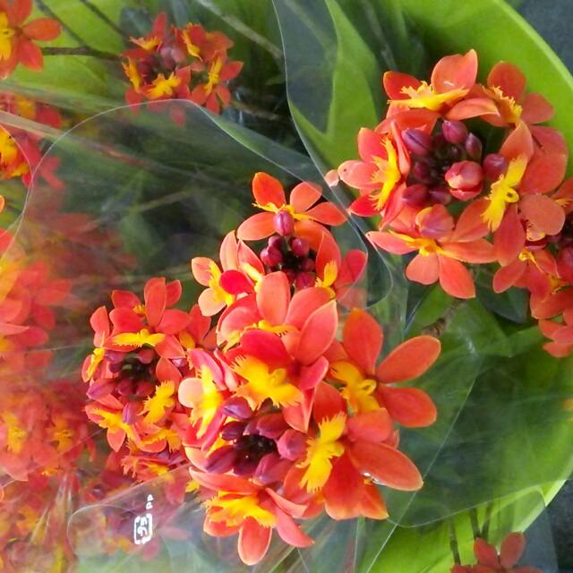 濃色オレンジが情熱的!分厚く丸みのある花びらが魅力の『エピデンドラム・オンリーユー』