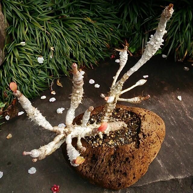 銀色の幹が生きた化石のような美しさ。花麒麟が5年分濃縮された『麒麟盆栽』