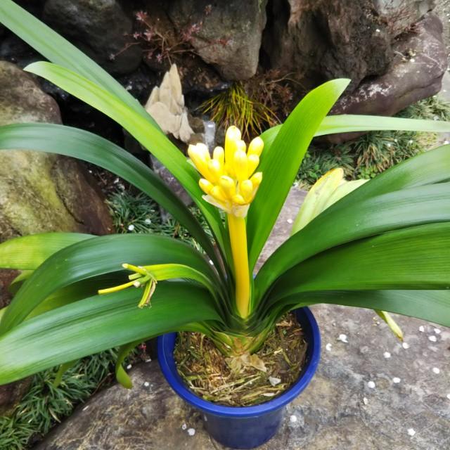 斑入りの葉から漏れる光。輝かしい黄金君子蘭の魅力