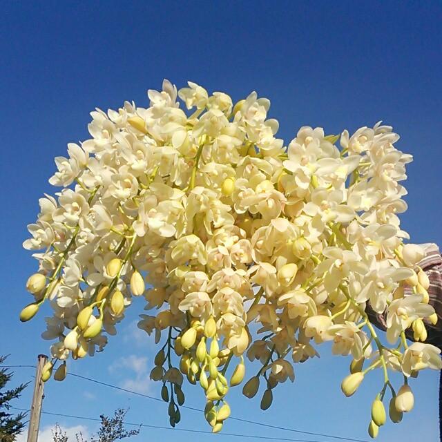 春先に輝く真っ白な「スノーリッチ」