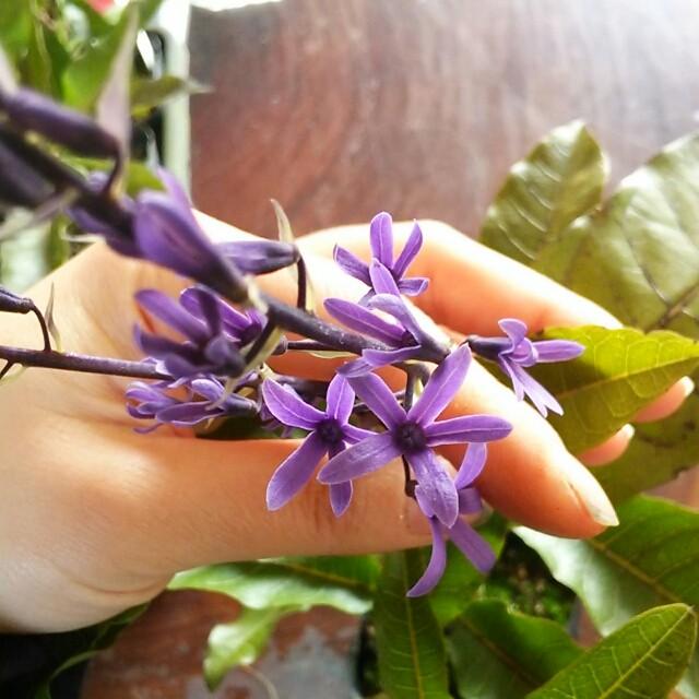 花の中に蕾があった!?中央からもうひとつの花が咲く面白い植物【ペトレア】