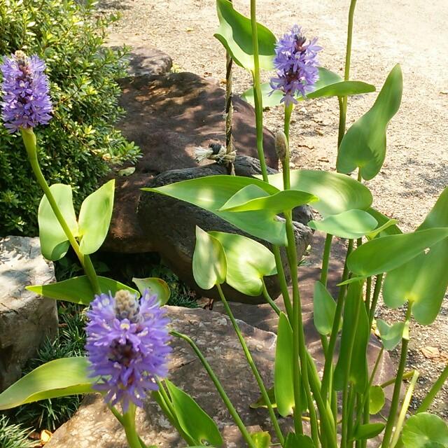 夏!青い花が涼しげに立つ、美しい水草・ポンテデリア