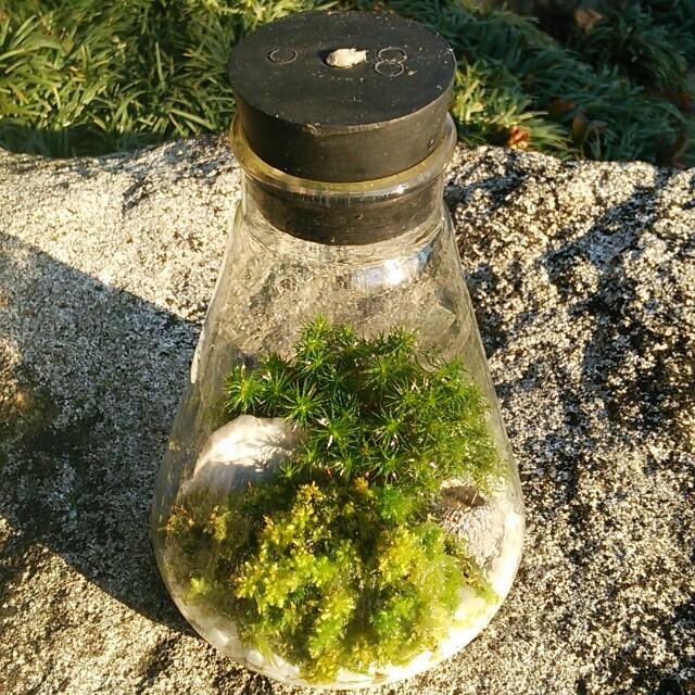 ボテッとした黒のゴム栓がカワイイ♡フラスコに広がる日向スギゴケのテラリウム