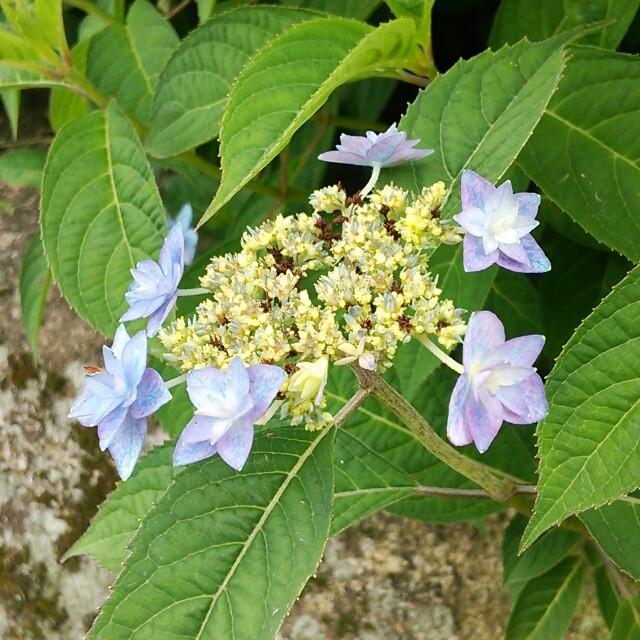 梅雨のお花と言えば紫陽花。繊細な美しさをもつ「山アジサイ」はいかが?