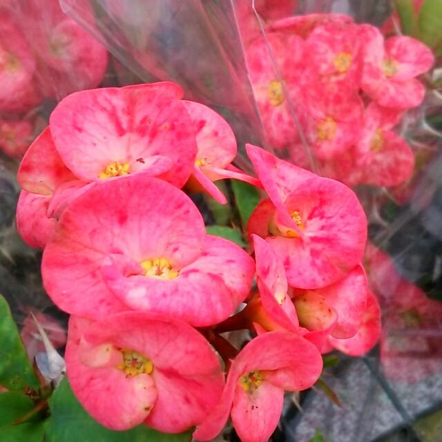 美しいものには棘がある。トゲがあるから魅力的♡花キリン・ピンクブチ