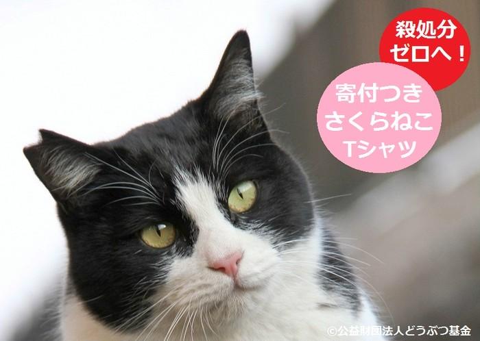 毎年1万頭の猫に無料で不妊去勢手術を施す。「さくらねこTシャツ」を着て、犬猫の殺処分をゼロにしよう!