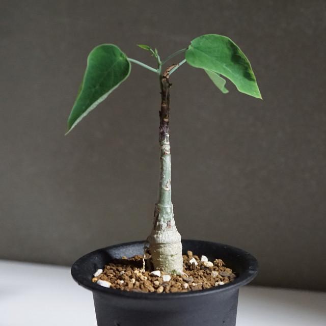 マニアック好き集まれ!普通とは違った植物を探している方にピッタリの塊根植物「アデニア・エキローサ」