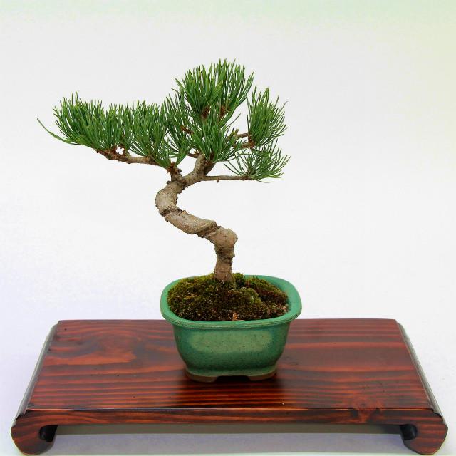 本物に育つ喜びを。日本文化である「盆栽」を育ててみませんか?