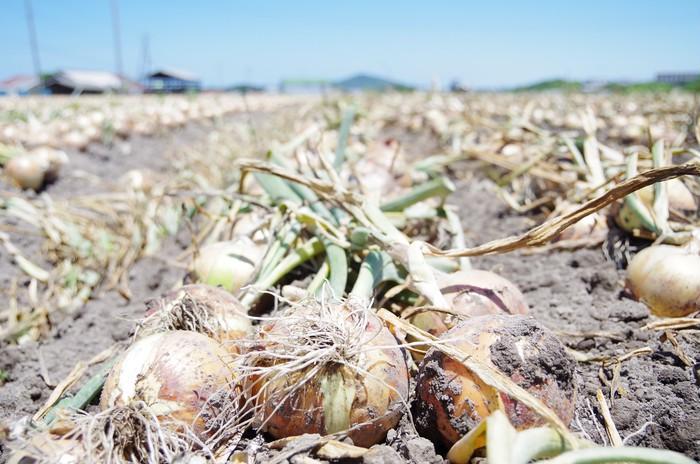 栽培はもちろん、収穫、乾燥にまでこだわった淡路産玉ねぎ