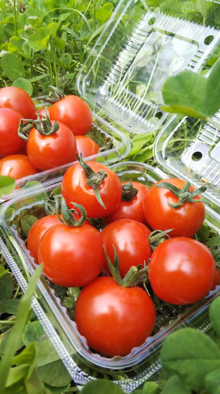 暑い夏に食べたい!希少な無農薬ミニトマト