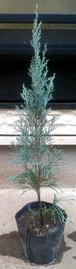 コニファー【ウィチタブルー】樹高約40cm