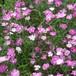 ダイアンサス(ナデシコ)初恋 Dianthus hybridus 'First Love'