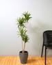 【観葉植物】ドラセナ コンパクタ 7号 陶器鉢 個性的 デザイン インテリア 開店祝