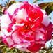 サザンカ・絞り咲き10.5cmポット苗
