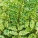斑入り藤9cmポット苗