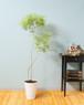 【観葉植物】メラレウカ レボリューションゴールド 7号 陶器鉢 個性的 インテリア 曲がり