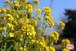 キラキラした菜の花~Nanohana that shining~①