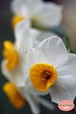 水仙まつり2015~Narcissus flower garden~⑤