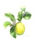 11月12日レモン(フレーム付)