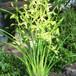 花芽付き和心蘭10.5cmポット