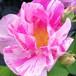 ロサ ガリカ ヴェルシコロール(ロサ ムンディ) Rosa gallica versicolor