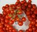 【予約】Hawaiian currant トマト (9cmポット)