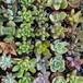 多肉植物1号pot苗・プラグ苗 3品種セット