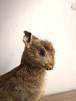 rabbit / france