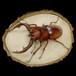【原画】輪切り絵アート:ノコギリクワガタ ホワイトアイ (Prosopocoilus inclinatus)