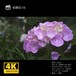 紫陽花18