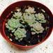 多肉植物:リトルビューティー