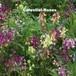 ヒメキンギョソウ Linaria bipartita Guppy
