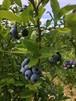 フローズン自然栽培ブルーベリー約1K