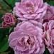 ラベンダー レース Lavender Lace
