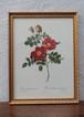 バラの画家 ピエール=ジョセフ・ルドゥーテ ベルギー