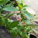 クコの木10.5cmポット苗