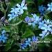 オキシペタラム weedia caerulea